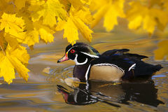Duck and Autumn leaves. Side view of duck swimming on lake with colorful Autumn leaves Royalty Free Stock Photo