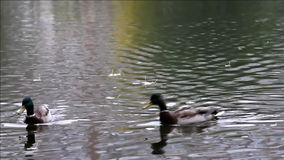 Duck in autumn pond Royalty Free Stock Image