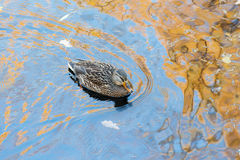 Duck in autumn Royalty Free Stock Images