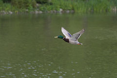 Duck the aviator Royalty Free Stock Images