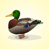 Duck. Aviculture and poultry. Royalty Free Stock Photography