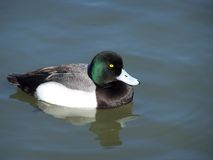 Duck (Aythya Marila) Fotografia de Stock