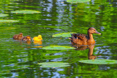 Duck babies in breeding season Royalty Free Stock Images