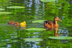 Duck babies in breeding season Royalty Free Stock Images