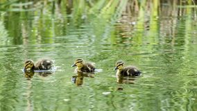 Duck Babies. Swimming in a Lake Royalty Free Stock Photography