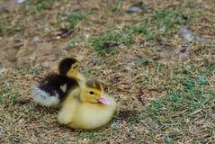 Duck babies Stock Photos
