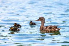 Duck and baby Royalty Free Stock Photography