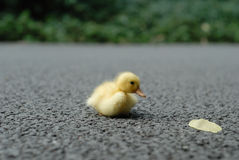 Duck baby. A yellow duck baby is looking a leaf on the road Royalty Free Stock Photo