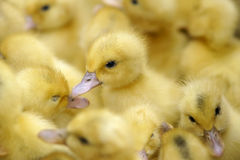 Duck-baby Stock Image