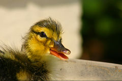Duck Baby Closeup Royalty Free Stock Photos