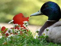 Duck and baby duck. Sat near lake royalty free stock photography