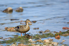 Duck and baby duck. Walking along the gulf of Finland Royalty Free Stock Images