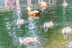 Duck and baby ducklings in a pond. Duck and baby ducklings swimming in a pond Stock Image