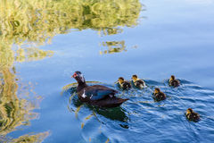 Duck and Baby Ducklings in the Water Stock Images