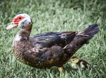 Duck with baby Royalty Free Stock Image