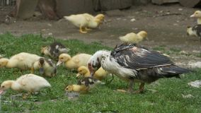Duck with Baby Nibbling Grass stock video footage