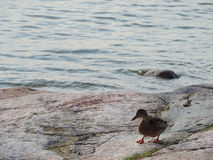 The duck at the Baltic Sea. Finland Stock Images