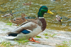 Duck on the bank of the stream Stock Photography
