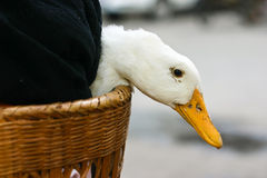 Duck in basket Royalty Free Stock Photography