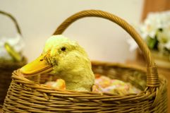 Duck in the basket royalty free stock photography