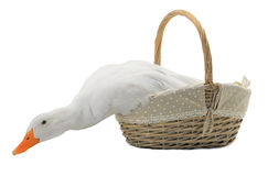 Duck. In a basket on a white background stock photos