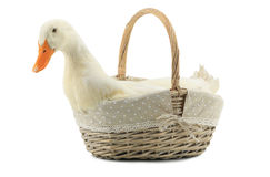 Duck. In a basket on a white background royalty free stock photo