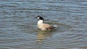 Duck bath stock video