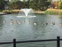 Duck Bath. Ducks at play Royalty Free Stock Photo