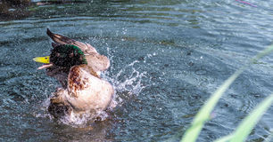 Duck bath. Mallard duck splashing around washing in a small pond stock photo