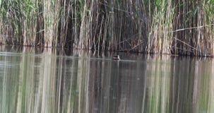 Duck Bathing à tête blanche sur l'étang banque de vidéos