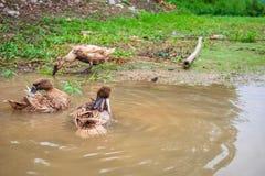 Duck Bathing tailandés imagenes de archivo