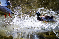 Duck Battle Photos libres de droits
