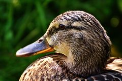 Duck, Beak, Bird, Water Bird Royalty Free Stock Images