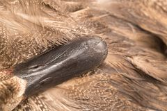 Duck beak. macro. In the park in nature Royalty Free Stock Photos