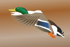 Duck. Beautiful colorful duck flying to sky stock illustration