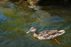 Duck with beautiful feathers floats on cool water. In the summer day Stock Images