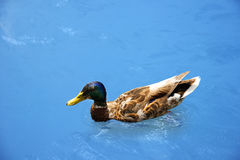 Duck with beautiful feathers floats on cool water. In the summer day Stock Image