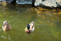 Duck with beautiful feathers floats on cool water. In the summer day Royalty Free Stock Photography