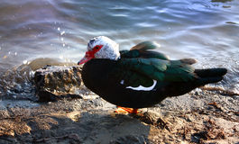 Duck. Beautiful green duck is resting Royalty Free Stock Image