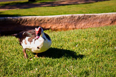 Duck. Royalty Free Stock Photo