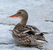 Duck. Beautiful Duck in Winter Scene Royalty Free Stock Photo