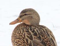 Duck. Beautiful Duck in Winter Scene Stock Photography