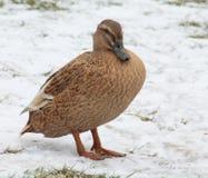 Duck. Beautiful Duck in Winter Scene Stock Photo
