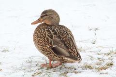 Duck. Beautiful Duck in Winter Scene Stock Images