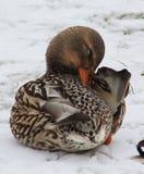 Duck. Beautiful Duck in Winter Scene Stock Image