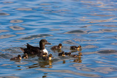 Duck with beautiful young ducklings in lriver stock image