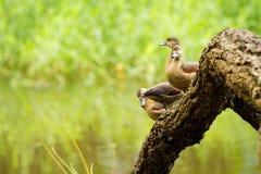 Duck beauty Stock Photography