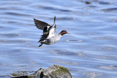 Duck beginning to fly from the river. stock image