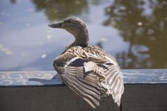 A Duck Besides a Lake in Amsterdam Royalty Free Stock Images