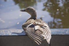 Duck Besides un lago en Amsterdam Imágenes de archivo libres de regalías